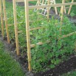 Cultivar Guisantes en el huerto y en macetas: Guía completa