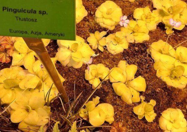 Plantas carnívoras: Pinguicula