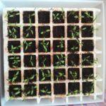 Cómo hacer un semillero de tomate: Sembrar tomates paso a paso