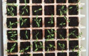 Cómo hacer un semillero de tomate casero. Plantar tomates paso a paso