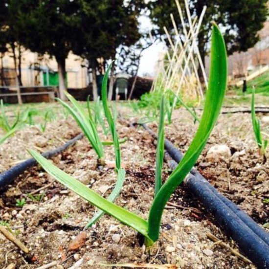 Primeros brotes unos 2 meses después de plantar los ajos