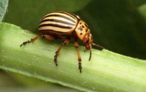 Escarabajo de la Patata: Todo lo que necesitas saber sobre esta plaga