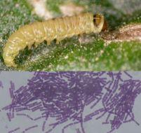 Bacillus thuringiensis y control biológico: alternativa a los insecticidas