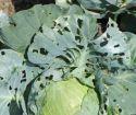 Hojas mordidas en las plantas: hojas comidas y hojas con agujeros