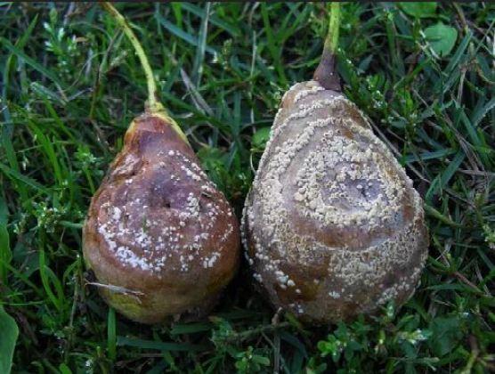 daños en frutos: peras podridas y con polvo blanco