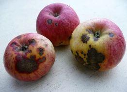 Frutos podridos, con manchas, agujeros o bultos: Daños en frutos