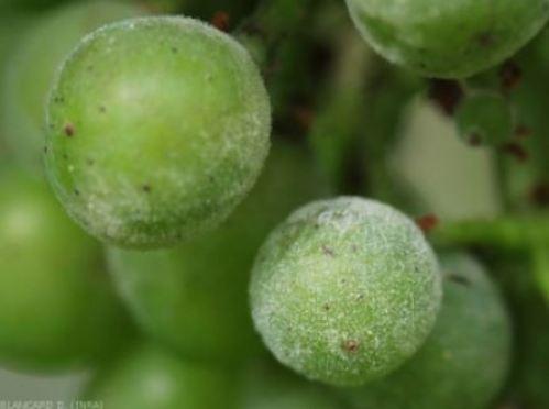 Uvas con Oidio
