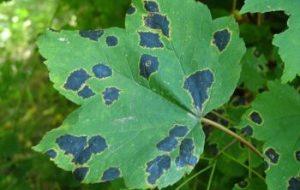 Manchas negras en las hojas de las plantas ¿Por qué aparecen?
