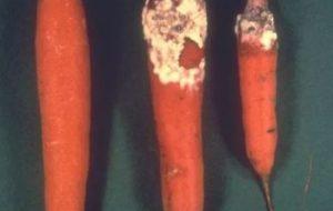 Enfermedades de la zanahoria: Guía completa con imágenes