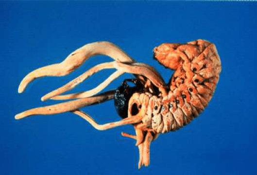 Larva de coleóptero atacada por Cordiceps