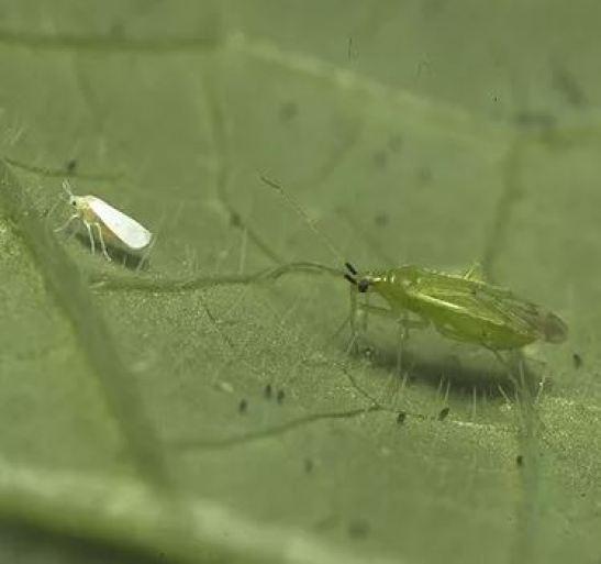 Macrolophus pygmaeus, uno de los insectos usados para el control biológico de la mosca blanca.