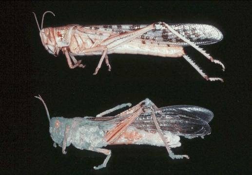 Ortóptero atacado por Metarhizium sp.otro ejemplo de uso de hongos como control biologico