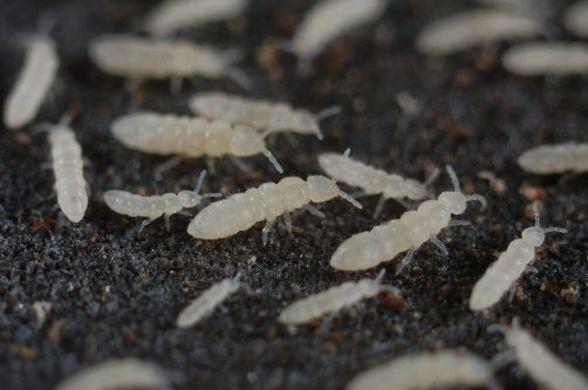 Colémbolos: bichitos blancos en la tierra de nuestras plantas.