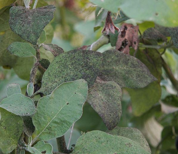 Puntos negros en las hojas causados por la negrilla, una enfermedad causada por hongos.