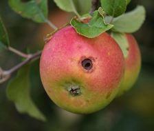 Plagas del Manzano: Guía Completa con Fotos