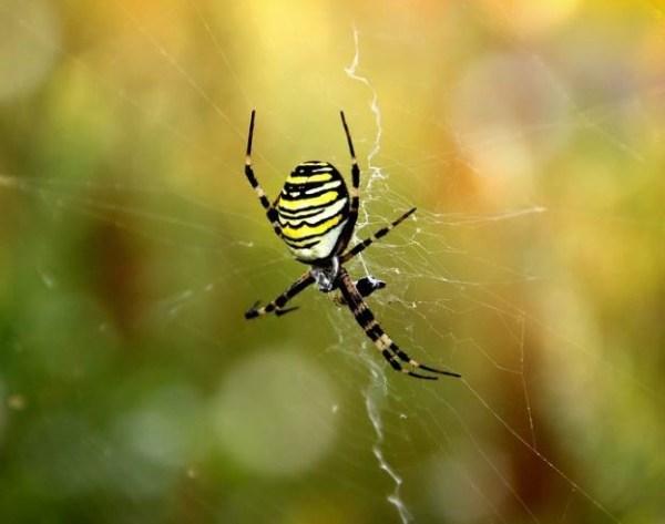 Araña amarilla