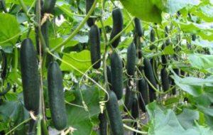 Entutorado y poda de plantas en el huerto: ¿Para qué sirve?