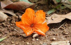 ¿Por qué se caen las flores de mis plantas? Caída de flores de tomate