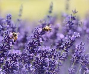 plantas para atraer a las abejas