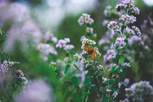 flores de orégano para atraer abejas