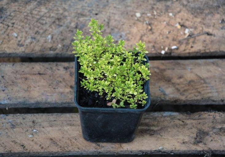 Cómo Cultivar Tomillo paso a paso: Guía completa