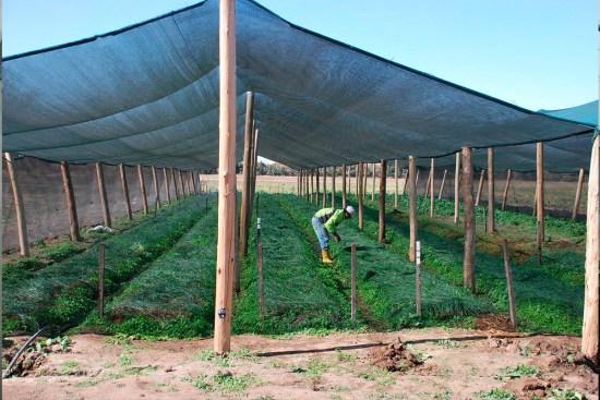 sombreado de cultivos con malla de sombra