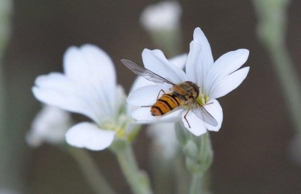 Insectos polinizadores: avispas