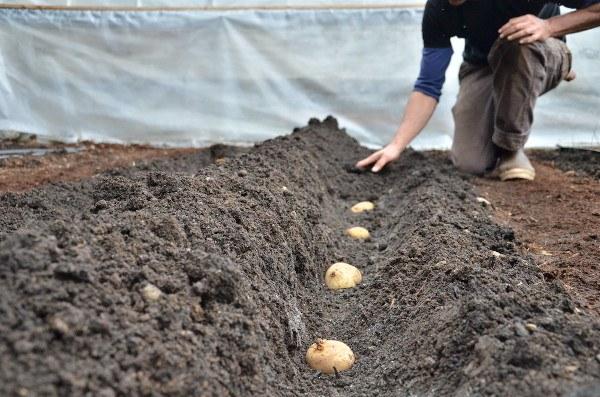 Profundidad de siembra para las patatas