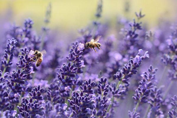 aromáticas en el huerto para atraer a las abejas