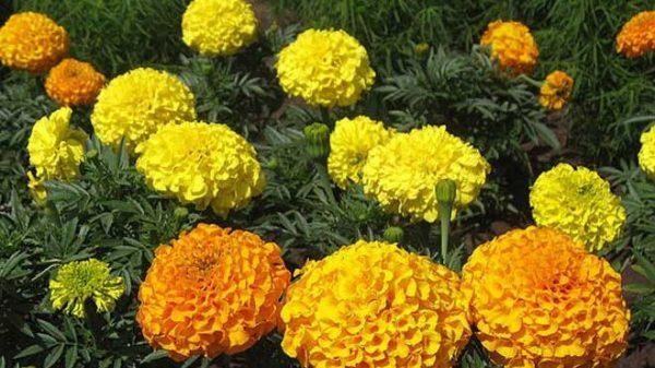 los tagetes son flores beneficiosas para el huerto