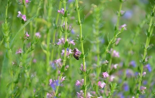 hisopo y otras aromáticas para el huerto