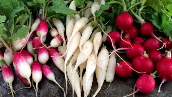 Los rabanitos son plantas útiles en el huerto