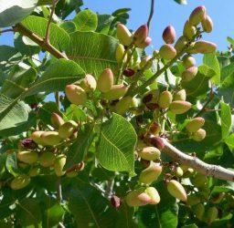 Variedades de pistacho y portainjertos: Cómo elegir la más adecuada