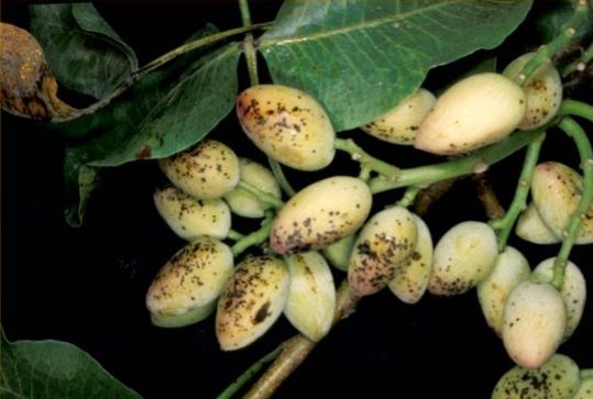 Puntos negros en los frutos producidos por Botriosfera.