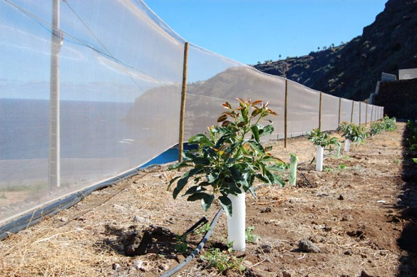 Plantación de aguacates jóvenes en zona de costa.