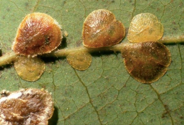 Cochinilla piriforme