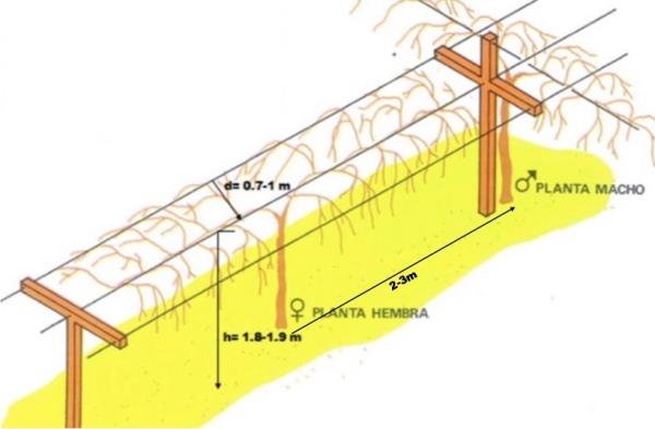 Estructura T-Bar para una plantación de kiwis