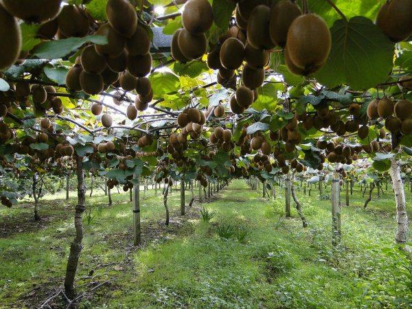Plantación de kiwis adulta