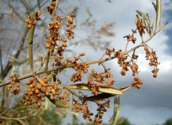 Síntomas de Verticillium en olivo
