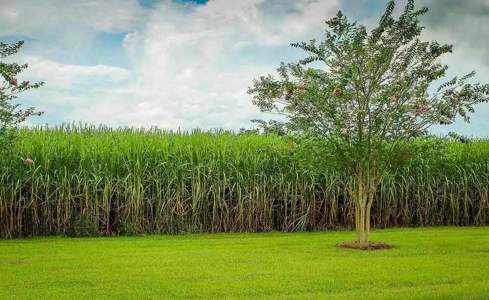 tumbuhan tebu - agroindustri.id
