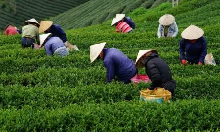 hasil perkebunan teh di Indonesia