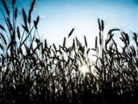 10 de novembro: dia do Trigo
