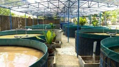 Photo of Budidaya Lele Di Kolam Terpal Dengan Sistem Bioflok