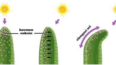 Photo of Hormon Auksin Mempercepat Pertumbuhan Akar dan Pucuk Tanaman