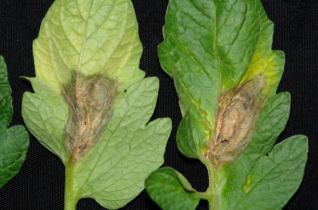 El consejo del experto: combatir la botrytis