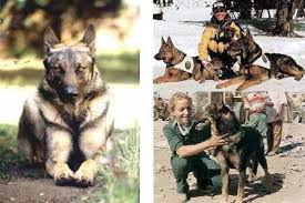 cane lupo pastore