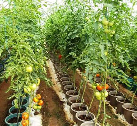 Greenhouse, Farming, Shade net, Low cost, Tomato, Capsicum, materials, Construction