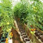 THE POTENTIALS OF GREEN HOUSE TOMATO PRODUCTION