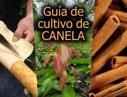 Guía de cultivo de canela