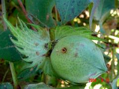 Πράσινο σκουλήκι: ένας από τους σημαντικότερους εχθρούς του Βαμβακιού - αναγνώριση & αντιμετώπιση του
